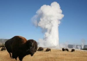 bison_and_old_faithful