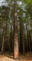 Redwood Forest - Panorama : click to zoom !