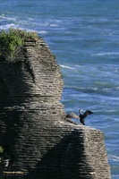 Cormoran over pancake rocks @ Papaora National Park