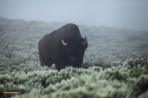 Bison in the morning mist