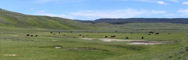 Bison in the Hayden Valley - Click to zoom !