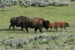 Bisons herd in the Lamar Valley
