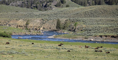 Bison along the Lamar River