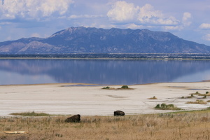 Bisons on Antelope Island
