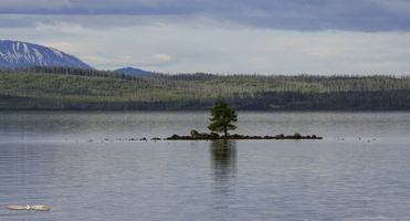 Lone Tree on Yellowstone Lake